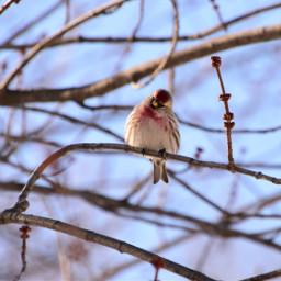 sizerinflammé oiseau nature hiver neige snow winter commonredpool bird