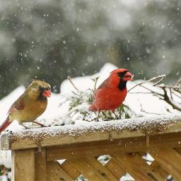 cardinalrouge couple oiseaux hiver neige northerncardinal birds winter snow