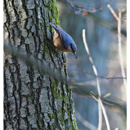 bird nuthatch kleiber birdwatching naturephotography naturfotografie foraging freetoedit