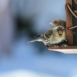 sizerinsflammés oiseaux hiver winter commonredpool bird