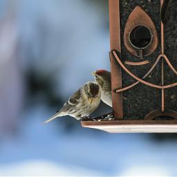 sizerinsflammés oiseaux àlamangeoire hiver feeding winter