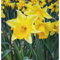 freetoedit daffodills stdavidsday wales