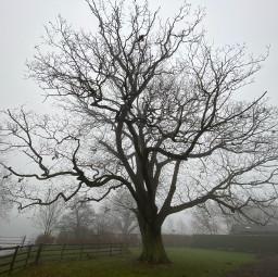 freetoedit fog treeforlife oak oaktree mistymorning misty foggy foggyday naturelovers