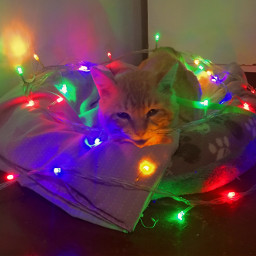 gato fotografia foto modelo lices navideño