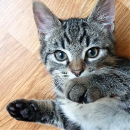 kitten cat pet petsandanimals