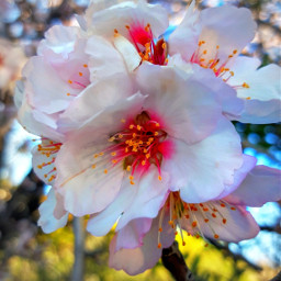 freetoedit almond flowerphotography flowertree sunlightthroughthetrees
