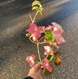 freetoedit dogwood pink flowers hold pcflowersaroundme flowersaroundme