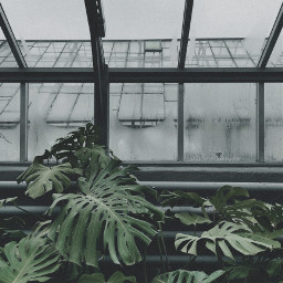plant green leaves monstera greenhouse glass window sky grey atmosphere filter picsart photo photography phone redminote9pro freetoedit