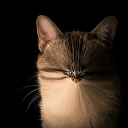 freetoedit unsplash cursed cat xd animal stockphoto fun funny