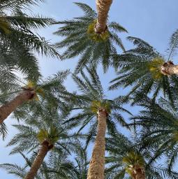 freetoedit palm palmtree summer tropical egypt sharmelsheikh