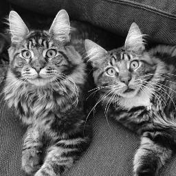 maincooncats mainecoons catlover cats catsphotography katzenliebe katzen freetoedit