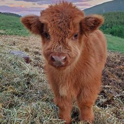 freetoedit cows
