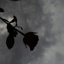 freetoedit rose photography love aditings spreadlove