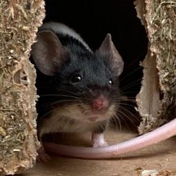 freetoedit mouse straciatella cute white blacky interesting