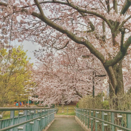 freetoedit cherylblossom sakura japan