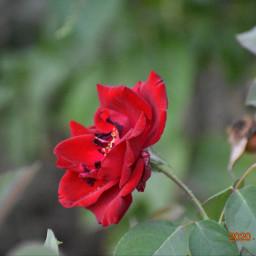 flowers roses rose fanartofkai qayoumkhan27 pcbeautifulbirthmarks tattooday happytaeminday qayoumkhanphotography qatar photooftheday instamood green nature actor
