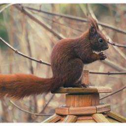 animal squirrel wildlife naturephotography naturfotografie animalphotography wildanimals freetoedit