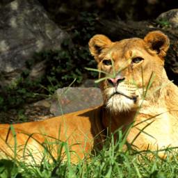 queenlion picsart animals zooanimals beautyful big_cats freetoedit