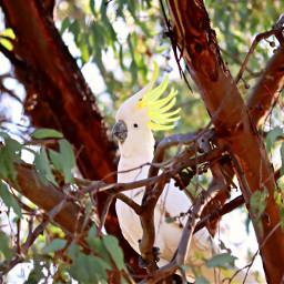 cockatoo australia birds