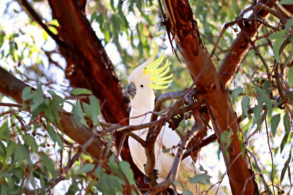 #cockatoo #australia #birds
