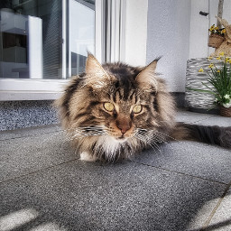 cat catlover catlove katze pet freetoedit