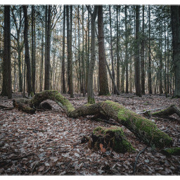 forest tree mossyforest atmospheric naturephotography berlin freetoedit