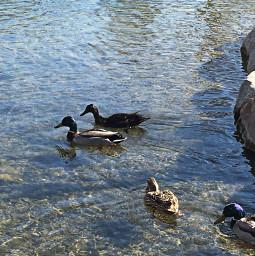 freetoedit ducks pond
