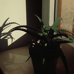 photo photography shadows lights flower plant window pcshadows