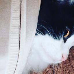 cat catlove catsphotography catsofpicsart freetoedit