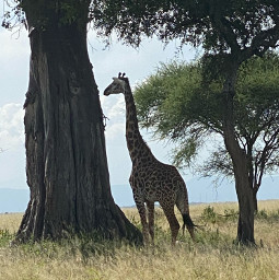 freetoedit safari giraffe ngorongoro tanzania