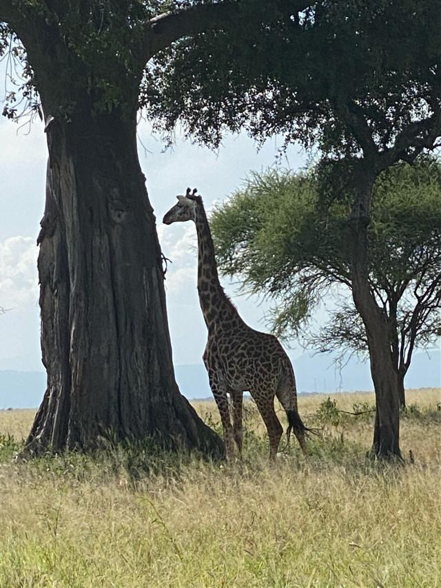 #safari #giraffe #ngorongoro #tanzania