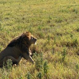freetoedit lion safari ngorongoro tanzania