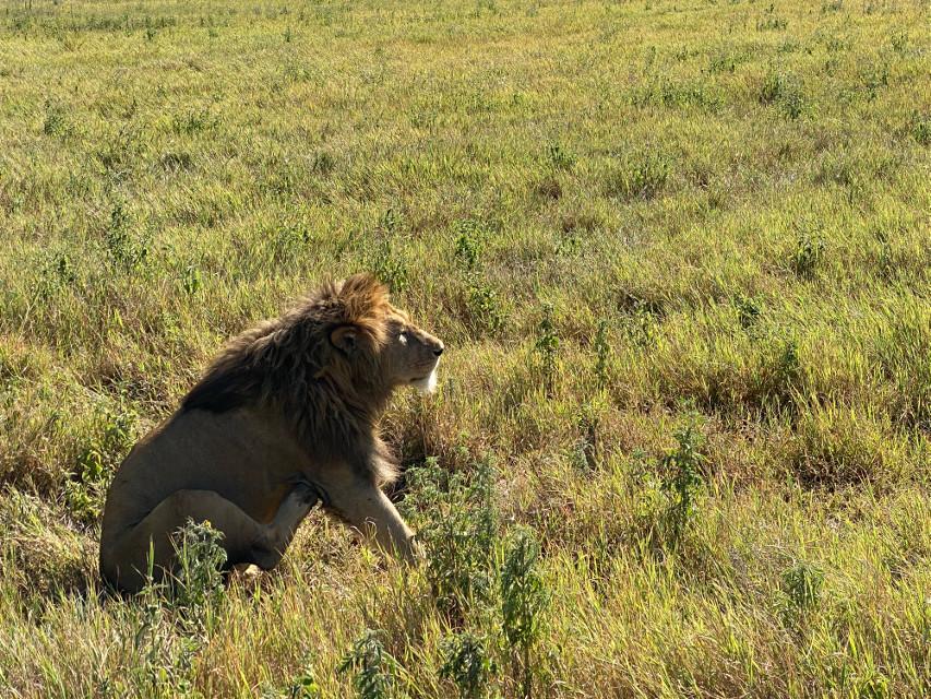 #lion #safari #ngorongoro #tanzania