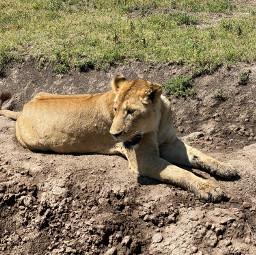 freetoedit lion tanzania ngorongoro safari