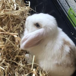 freetoedit bunny flocke babyanimal babypet baby animal pet cute white flake