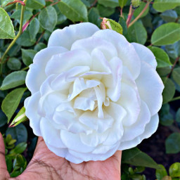 whiterose rose freetoedit