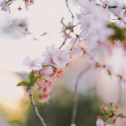 springtime springflowers flowers flowerpower photography naturephotography sony naturelovers colorful nature beautiful picsart freetoedit