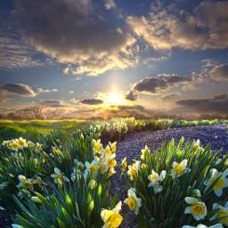 freetoedit remixit nature landscapephotography beauty pretty landscape flowers daffodils spring springflowers happytaeminday follow
