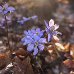 flowers nature freetoedit naturephotography