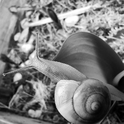blackandwhite inthegarden snail snaillove outside rainyday nature