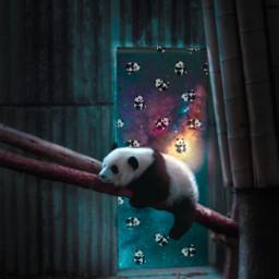 panda freetoedit srccutepandas cutepandas