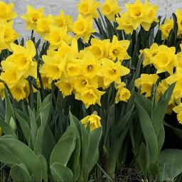 freetoedit daffodils daffodiles daffodilflowers yellowflowers