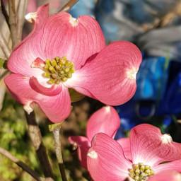 flowers pink closeup myphotography corniolo rosa freetoedit