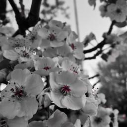 flowers blooms spring freetoedit colorsplash