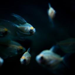 fish aquarium water underwater light dark atmosphere photo photography canon canon700d photoshop photoshopcs5 freetoedit