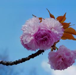 freetoedit spring springtime flower blooming blumen petals petalos bleu blue pink sky cyan cherryblossoms fiore floresta