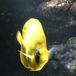 pez interesting yellow amarillo acuario pcmothernature mothernature