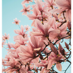 magnoliaflower magnoliatree magnolia spring nature freetoedit