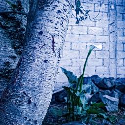 cotacachi imbabura ecuador flower callalily