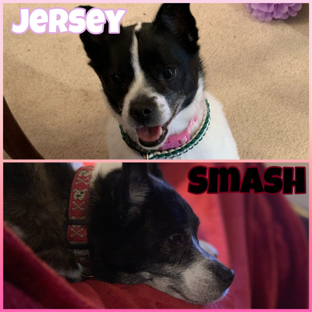 """🐾——————————————————🐾      Hi there! We are the sibling doggies. I'm Smash, and 𝙸'𝚖 𝙹𝚎𝚛𝚜𝚎𝚢. We will write in different fonts to show you who's writing! Normal font is me, Smash. 𝙰𝚗𝚍 𝚝𝚑𝚒𝚜 𝚏𝚘𝚗𝚝 𝚒𝚜 𝚖𝚎, 𝙹𝚎𝚛𝚜𝚎𝚢! We are 9 years old and we came from the adoption center. 𝙰𝚍𝚘𝚙𝚝 𝚍𝚘𝚗'𝚝 𝚜𝚑𝚘𝚙! A lot of times my owner says I look like a fox and Jersey looks like a chihuahua. Which we are mix breeds. Our mommy and daddy are both mix breeds, and they're mixed with mixed breeds, so we probably have lots of dogs in us! Which makes us so unique. 𝙰𝚗𝚢𝚠𝚊𝚢, 𝚂𝚖𝚊𝚜𝚑 𝚌𝚘𝚞𝚕𝚍 𝚐𝚘 𝚘𝚗 𝚊𝚗𝚍 𝚘𝚗. 𝙱𝚞𝚝 𝙸 𝚑𝚘𝚙𝚎 𝚢𝚘𝚞 𝚎𝚗𝚓𝚘𝚢 𝚘𝚞𝚛 𝚍𝚘𝚐𝚐𝚢 𝚓𝚘𝚞𝚛𝚗𝚎𝚢!  🐾——————————————————🐾  Our owners account: @fadeykittens  🐾——————————————————🐾 Comment """"🐾"""" to join! Comment """"🦴"""" to be removed! Comment """"🐶"""" if you changed your user! 𝙾𝚞𝚛 𝚃𝚊𝚐𝚕𝚒𝚜𝚝: (𝚝𝚊𝚐𝚐𝚒𝚗𝚐 𝚘𝚞𝚛 𝚘𝚠𝚗𝚎𝚛𝚜 𝚏𝚛𝚒𝚎𝚗𝚍𝚜, 𝚜𝚊𝚢 𝚒𝚏 𝚢𝚘𝚞 𝚠𝚊𝚗𝚝 𝚘𝚏𝚏!) @eventing_ace778 🏇 @itsequxus 🐴 @aquaveri 🐬 @sunnyxclouds_ ☁️ @liv_r0sey 🌹 @sunflxwrblxss 🌻  🐾——————————————————🐾 Follower count: 1 🐾——————————————————🐾  #dogs #thesiblingdoggies #besties #fadeykittens #smashandjersey"""